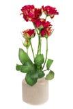 Minimalistic  bouquet  - seven mini red  roses Stock Image