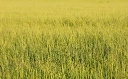 Minimalistic closeup of a green grassfield Royalty Free Stock Photo