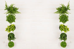 Minimalistic decorative border of green conifer plants in pots top view on white wooden board background. Royalty Free Stock Image