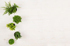 Minimalistic decorative border of green conifer plants in pots top view on white wooden board background. Blank copy space. Royalty Free Stock Photography