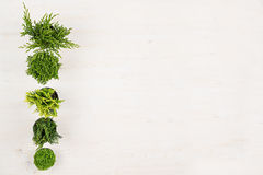Minimalistic decorative border of green conifer plants in pots top view on white wooden board background. Stock Photography