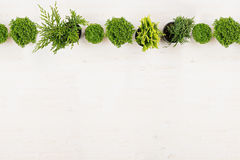 Minimalistic decorative border of green conifer plants in pots top view on white wooden board background. Stock Photo