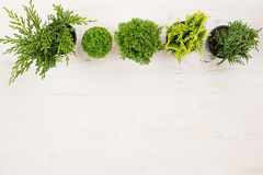 Minimalistic decorative border of green conifer plants in pots top view on white wooden board background. Blank copy space Royalty Free Stock Photos