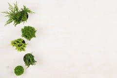 Minimalistic dekorativ gräns av gröna barrträdväxter i bästa sikt för krukor på vit träbrädebakgrund Blank kopierar utrymme royaltyfri fotografi