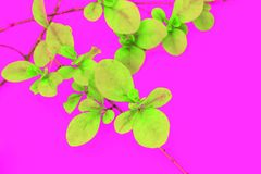 Minimalistic image of green leaves on bright pink background. Minimalistic image of green small leaves on the bright pink background Stock Images