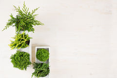 Minimalistic interior workplace with green young conifer plants in white box top view on beige wood board background. Stock Image