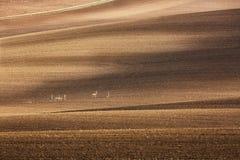Minimalistic jordbruks- höstlandskap med gruppen av små deers på kultiverade fält i södra Moravia, Tjeckien medf8ort royaltyfri foto