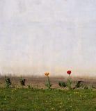 Minimalistic vårbakgrund Tulpan blommar i liten säng vid wa royaltyfria foton