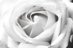 Minimalistic-Weißrose lizenzfreie stockfotografie