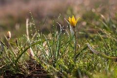 Minimum ( de Gagea ; Mineurs Gagea) ; - fleurs jaunes fleurissant au printemps, baisses de l'eau images libres de droits