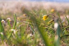 Minimum ( de Gagea ; Mineurs Gagea) ; - fleurs jaunes fleurissant au printemps photographie stock libre de droits