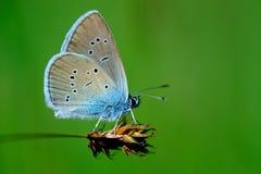 Minimus de Cupido da borboleta imagem de stock