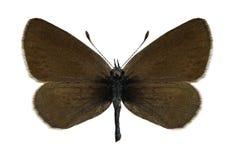 Minimus di Cupido della farfalla (femminile) Immagini Stock Libere da Diritti