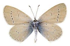 Minimus di Cupido (piccolo blu) Fotografie Stock