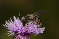 Mining Bee (Andrena rosae) Royalty Free Stock Images