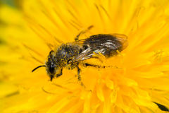 Mining Bee (Andrena sp.). Mining bee (Andrena species) on dandylion Royalty Free Stock Images