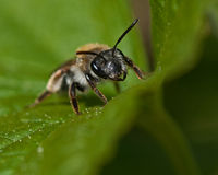 Mining Bee Andrena sp. Stock Photo