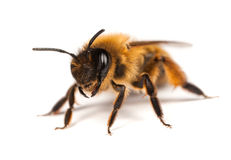 Mining Bee Royalty Free Stock Image