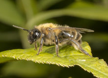 Mining Bee on leaf Stock Photos