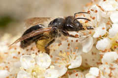 Mining Bee on Pyracantha Royalty Free Stock Photo