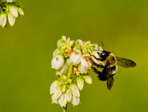 Mining Bee working blueberry blooms Stock Photos