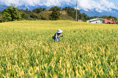 Mining Lilies, Hualien, Taiwan Stock Images