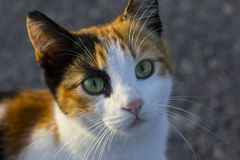 Minino colorido con los ojos hermosos Animales domésticos de Homles en Estambul fotografía de archivo libre de regalías