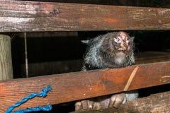 Minipig dans une vieille maison de porc Image libre de droits