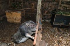 Minipig dans une vieille maison de porc Photographie stock libre de droits