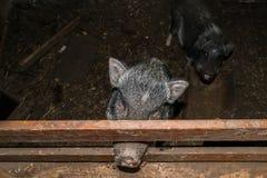 Minipig dans une vieille maison de porc Photos libres de droits