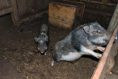 Minipig dans une vieille maison de porc Photos stock