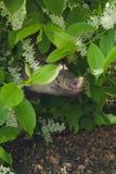 Minipig e a árvore da pássaro-cereja Fotos de Stock Royalty Free