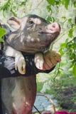 Minipig e a árvore da pássaro-cereja Imagens de Stock