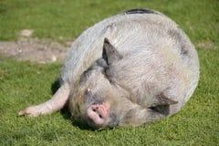 Minipig sleeping on grass Stock Photos