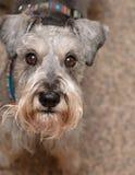 Minischnauzerhund, der oben schaut stockbilder