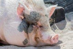Minischwein Lizenzfreie Stockbilder
