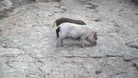 Minischweine werden auf die geriebenen Felsen weiden lassen stock video footage