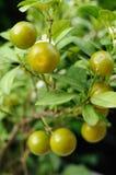 Minisinaasappelen in tuin, Kumquats Stock Fotografie