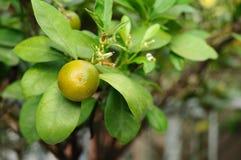 Minisinaasappelen in tuin, Kumquats Stock Afbeelding