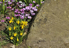 Miniture daffodils with cyclamen Stock Photography