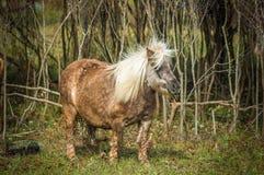 Miniture-Pferd auf dem Gebiet Stockfotografie