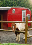 A Miniture Pony Stands in His Coral with Red Trailer Royalty Free Stock Photos