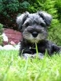 Miniature Schnauzer Pup Stock Photo