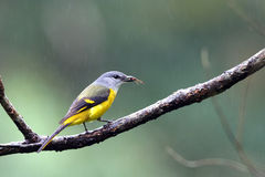 Minivet Giallo-throated Immagine Stock