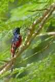 Minivetbird met lange staart in Nepal Stock Foto's