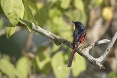 Minivetbird met lange staart in Nepal Royalty-vrije Stock Foto
