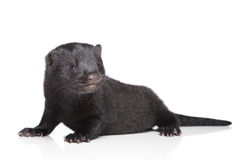 Mink (1 month) Royalty Free Stock Images