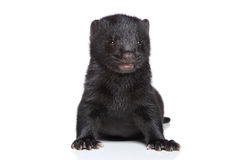 Mink (1 month) Stock Photography