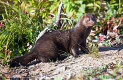 Mink Royalty Free Stock Images