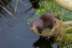 Mink Royalty Free Stock Photography